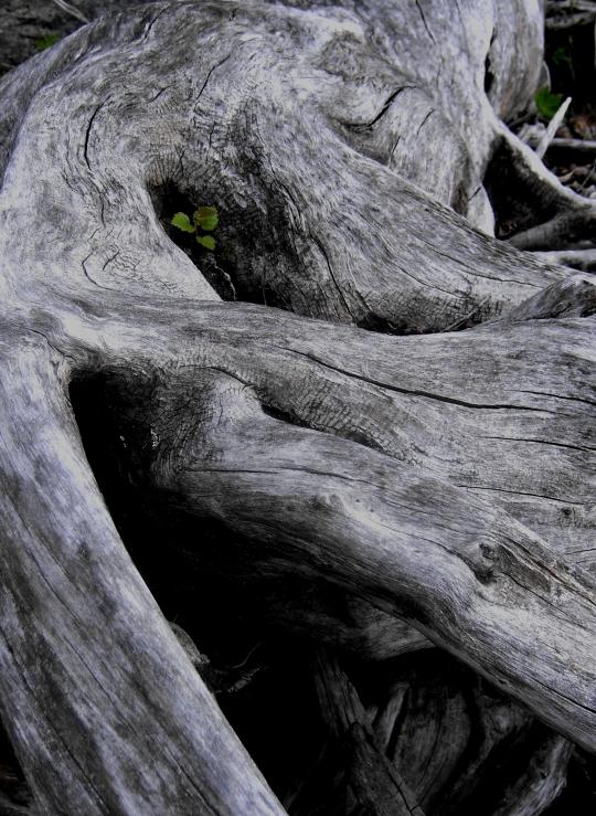 Old tree at Ransarn, Västerbotten