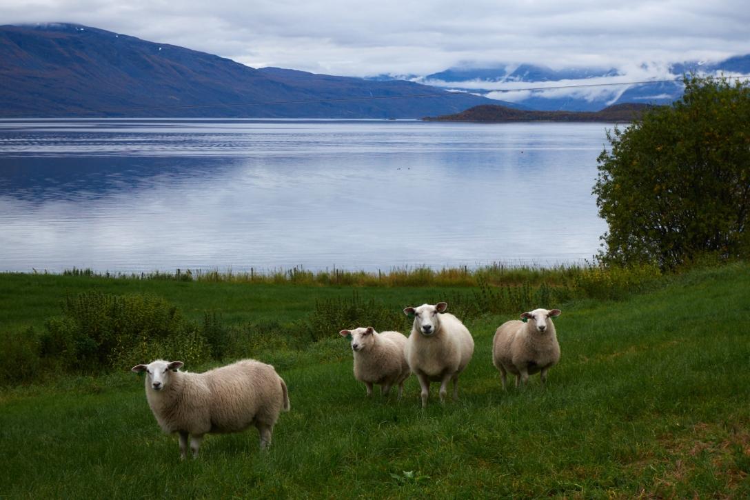 Lyngen sheep.
