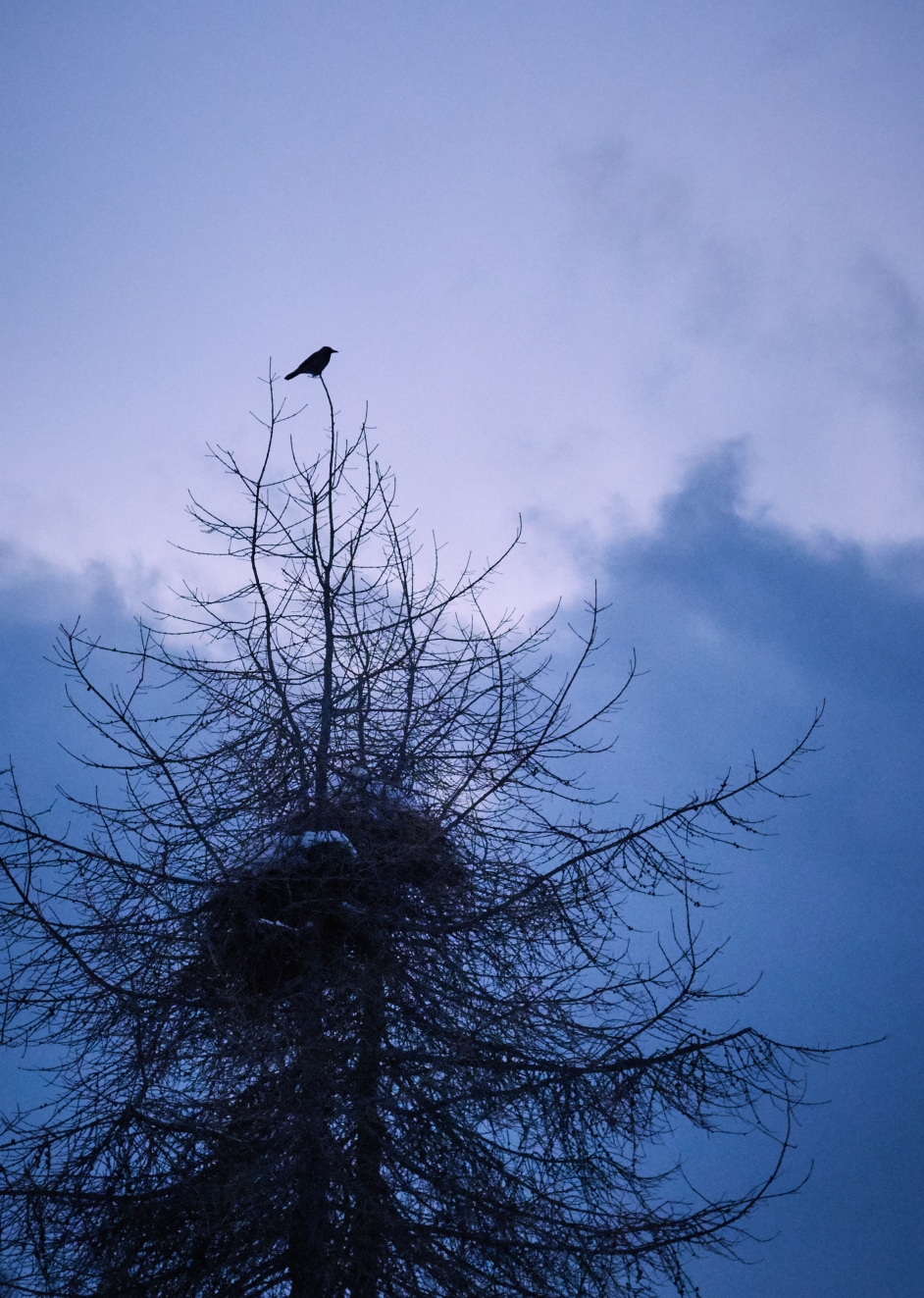 Tuesday. A crow in the dead pine.