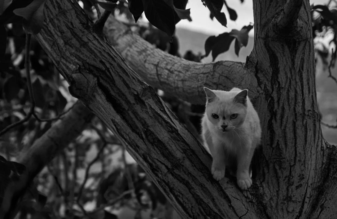 Inbred zombie cat. Monachil.